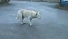 Un perro ruso con mucho ritmo
