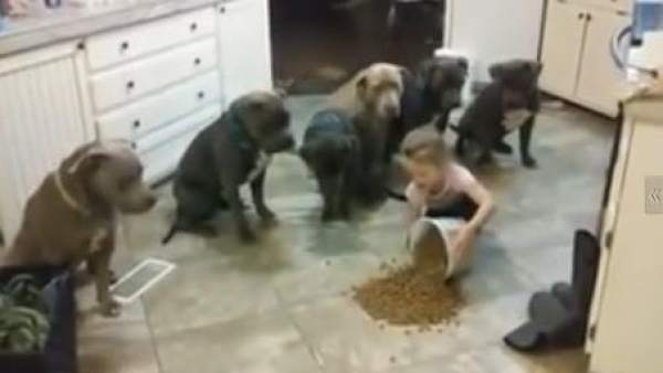 La niña y los pitbulls